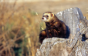 Polecat (Mustela putorius). a species of mustelid native to western Eurasia and North Africa. This mammal lives in woodland. It is nocturnal and feeds on small mammals and frogs.