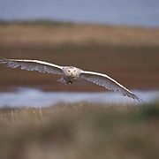 Snowy Owl, (Nyctea scandiaca) Adult in flight. Barrow, Alaska.