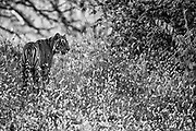 Wild Bengal tiger walking through the forest in wild flowers, black and white,Ranthambore National Park, Rajasthan, India