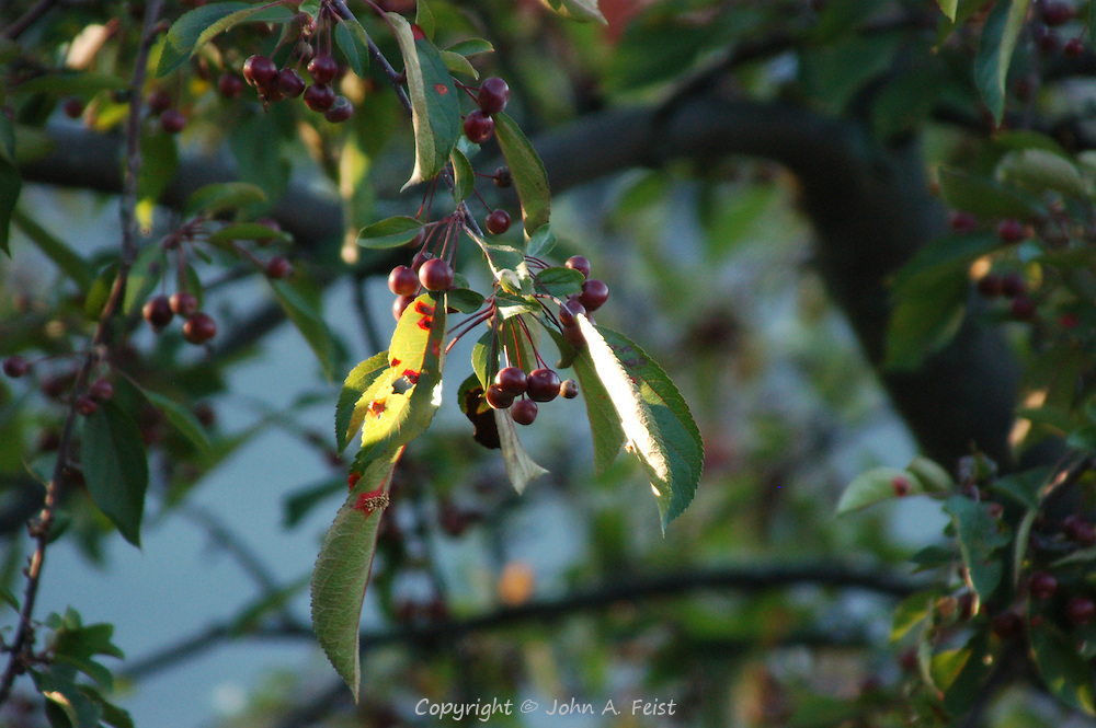 The day is just starting.  These berries are among the first to grab the morning sun.  Kripalu, Stockbridge, MA