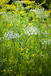 Throw and grow foliage mix. Dill, Bupleurum rotundifolium, Ammi majus (Bishop's flower)