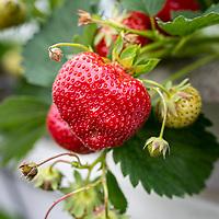 2019-06-28 Streekgerecht Aardbeien Simmerfruit