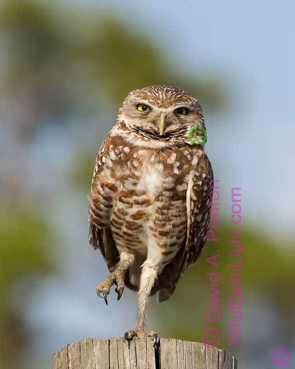 Burrowing owl hunting from a fence post, lifts one foot, © 2011 David A. Ponton