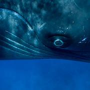 Humpback Whale (Megaptera novaeangliae) adult in the Caribbean Ocean.