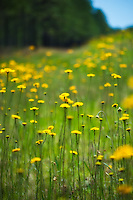 Springtime helenium growing on the side of a highway in the Apalachicola National Forest.