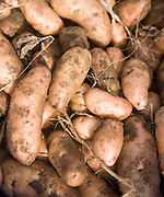 Pink fir apple potatoes close-up