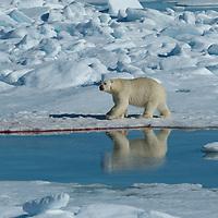 Polar Bear walking on the pack ice near the Svalbard Islands.
