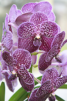 Close up of purple Orchid plant flowers. Photography by Doreen Kennedy