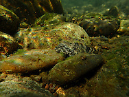Mottled Sculpin<br /> <br /> Todd Pearsons/Engbretson Underwater Photography
