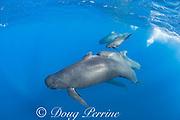 long-finned pilot whales, Globicephala melas, pod with newborn calf, still showing fetal folds, Straits of Gibraltar ( North Atlantic )