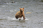 An Alaskan Brown bear running in the Brooks River at Katmai National Park.