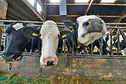 Nederland, Ooij, 13-10-2019 De koeien in de stal. Koeienstal . Foto: ANP/ Hollandse Hoogte/ Flip Franssen