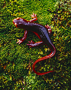 California Newt, Taricha totosa, on moss near Yucca Creek in the foothills of Sequoia National Park, California.