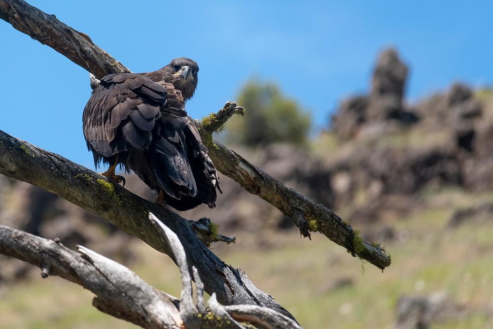 Fledgling bald eagle, Grande Ronde River, Oregon.