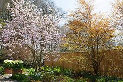 Magnolia x loebneri 'Leonard Messel' with fresh young foliage of Cercidiphyllum at Glebe Cottage. Tulipa 'Purissima' in square terracotta pots