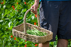 Basket of harvested runner beans. Phaseolus coccineus