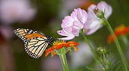 Monarch Butterfly On A Red Flower, Danaus plexippus