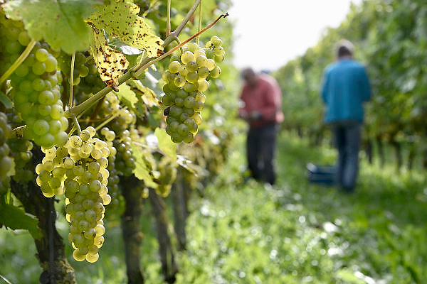 Nederland, Groesbeek, 2-10-2013Bij de biologische wijngaard de Colonjes is men bezig met de druivenoogst van dit seizoen. De witte druiven zijn het eerst aan de beurt. Beschimmelde en aangetaste vruchten worden zoveel mogelijk weggeknipt. Het eerst gaan de aangetaste trosjes druiven  eraf. Ondanks de korte zomer verwacht men een mooie oogst vanwege de vele zonuren. Ook stelt men de kwaliteit boven kwantiteit. plant, grapes; ripe; wijndorp; agriculture; biologisch; landbouw; producten; biologische; produkten; voeding; climate change; dutch; eco; eco-keurmerk; eco-label; ecological; agriculture; label; ecologische; eko; eko-keurmerk; ekologische; landbouw; economic; nederlandse; nederlands; organic; farming; food; products; tros; trossen; wijnoogst; zon; zonnig; weer; opwarming; klimaatverandering; druiventros; tros; nationale; wijnweek; wijndorp; opbrengst; wijnopbrengst; wijnrank; dutch,wijnboerenFoto: Flip Franssen/Hollandse Hoogte