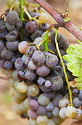 Bunches of ripe grapes. Nobel rot. Chateau Liot, Barsac, Sauternes, Bordeaux, France