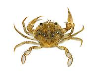 Flying Crab - Liocarcinus holsatus
