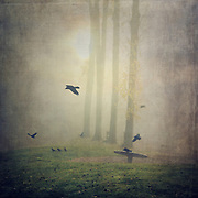 Murder of crows in mist - photograph edited with texture overlays
