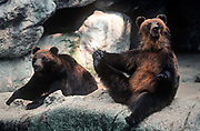 Captive Brown bears seen in their enclosure at Budapest zoo,<br /> on 13th June 1990, in Budapest, Hungary.