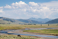 Lone Bison grazing in Lamar Valley Yellowstone National Park