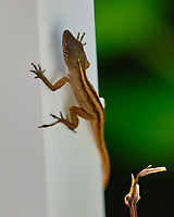 Lizard. Image taken with a Fuji X-H1 camera and 200 mm f/2 OIS lens + 1.4 x teleconverter