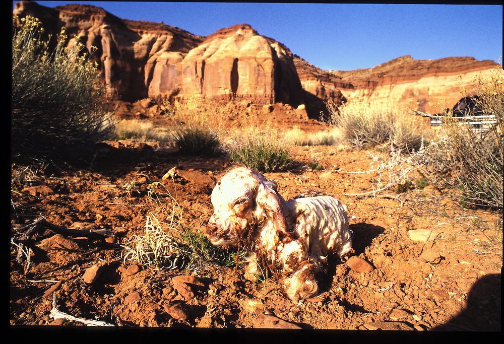 New-born sheep of Eugene Chee Sr's. near his Olject, Utah home.  1993