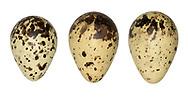Common Snipe - Gallinago gallinago