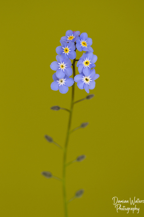 Wood Forget-me-not, Myosotis sylvatica - flower cluster against green background - Wirral, MAy