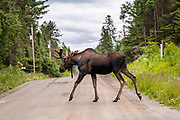 A Bull Moose crosses a dirt road on the edge of a forest in Homer, Alaska. A northern sea otter floats along on Kamishak Bay at the City of Homer Port & Harbor marina in Homer, Alaska.