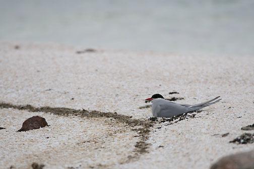 Arctic Tern on nest, Nunavut, Canada