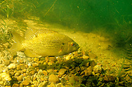 Rock Bass on spawning bed with eggs<br /> <br /> ENGBRETSON UNDERWATER PHOTO