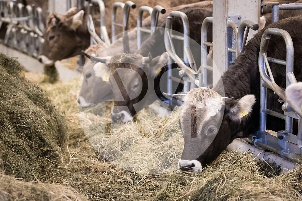 SCHWEIZ - HALLWIL - Rinder fressen Heu auf dem Haldenhof - 11. Dezember 2019 © Raphael Hünerfauth - http://huenerfauth.ch