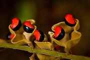 Sao Jose do Rio Preto_SP, Brasil...Programa Biota da Unesp, na foto a semente de olho de cabra (Ormosia arborea)...The Biota program of Unesp, in this photo seeds seed the Ormosia arborea detail.. .Foto: JOAO MARCOS ROSA / NITRO