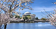 The Jefferson Memorial And Cherry Trees In Full Bloom on a Sunny Spring Day in Washington D.C., USA