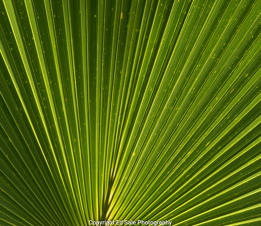 A colorful green and yellow Palm frond is backlit by the sun hightling the unique folds and strations in the leaf