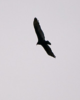 Turkey Vulture (Cathartes aura). Image taken with a Nikon D300 camera and 70-200 mm f/2.8 VR lens.