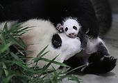 Shangha''s First Panda Cub
