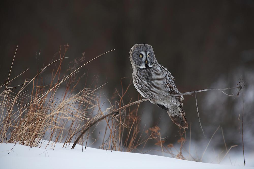 WILD GREAT GREY OWL; STRIX NEBULOSA; HUNTING; PREDATOR; WINTER; FEBRUARY; COLD; BIRD OF PREY; OULU, FINLAND, EUROPE;