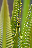 """Cykad palm leaves, Wayag, Raja Ampat, Western Papua, Indonesian controlled New Guinea, on then Science et Images """"Expedition Papua, in the footsteps of Wallace"""", by Iris Foundation"""
