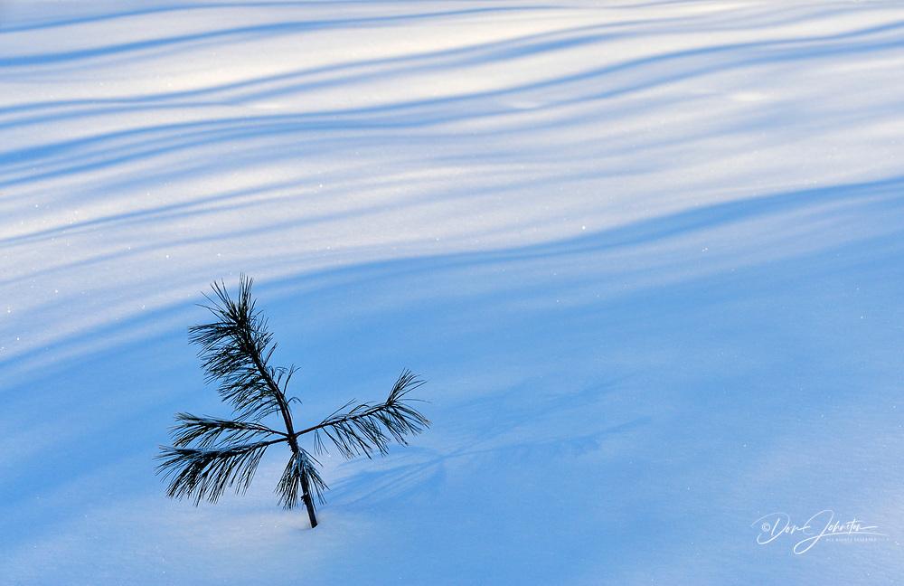 White pine sapling (Pinus strobus) with tree shadows, Greater Sudbury, Ontario, Canada, Greater Sudbury, Ontario, Canada