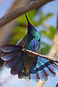 Hummingbird, Green Violet-Ear / Colibri thalassinus