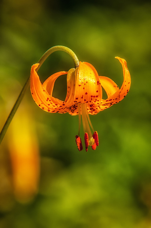 One of many of the wondrous sub-alpine wildflowers found in the Pacific Northwest, this Colombian lily (also known as the small-flowered tiger lily) was found growing high up in the Cascade Mountains in Steven's Pass near the tree line on a cool August day.