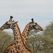 Two massai giraffs crossing their ways.