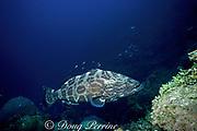 black grouper, Mycteroperca bonaci, <br /> Tongue of the Ocean, near Nassau, New Providence Island, <br /> Bahamas ( Western Atlantic Ocean )