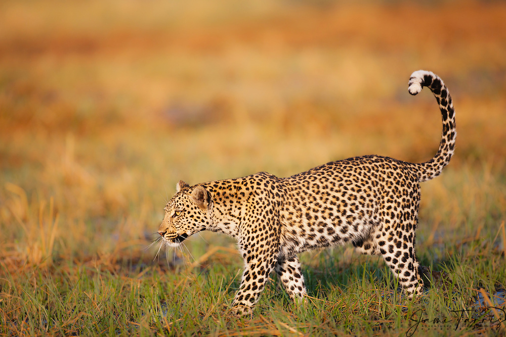 A leopard (Panthera pardus) walking through the water of the Savuti marsh, Chobe National Park, Botswana, Africa