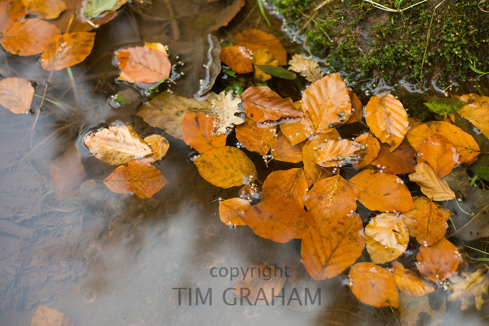 Leaves of beech tree in River Usk in the Brecon Beacons, Powys, Wales, UK