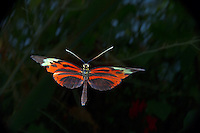 Heliconius sp in flght, Central America<br /> <br /> Insect in Flight, High Speed Photographic Technique Image by Andres Morya